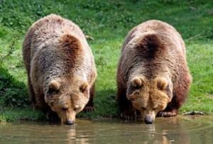 Dual-Bears