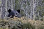 Peeking-Bear-150x99