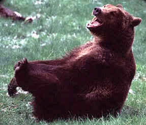 laughing_bear
